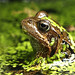Common frog  NottsWT (cpt Sean Browne)