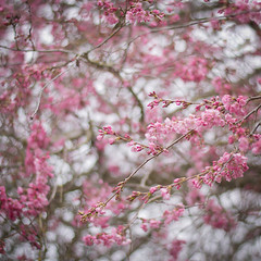 if it gets any sweeter than this, i don't want to know. (after october) Tags: pink flowers tree oregon happy march spring branches pacificnorthwest blooms floweringtree floweringplum ithink