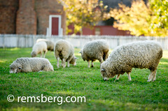 Sheep grazing in pasture of Colonial Williamsburg VA (Remsberg Photos) Tags: city food usa building wool virginia sheep farmers market lamb williamsburg material produce local livestock clothingmaterial