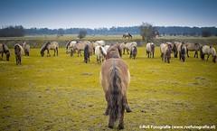 Wilde paarden natuurpark Lelystad (04-03-2012). (Dynaries) Tags: horse canon natuur dieren flevoland natuurparklelystad 2012 paarden wwwrvefotografienl g1x
