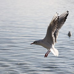 Ailes  (wings) (Larch) Tags: lake france bird annecy square niceshot seagull wing lac 74 oiseau mouette carr aile lacdannecy hautesavoie wow1 wow2 wow3 wow4 wow5 oltusfotos mygearandme ringexcellence blinkagain dblringexcellence flickrstruereflection1 flickrstruereflection2 flickrstruereflection3