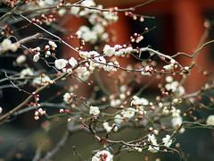 (©Marie Eve K.A.❦ (away..)) Tags: blur flower tree nature japan kyoto dof bokeh f14 85mm teaceremony annual olympuspen ume 2012 planar ep2 nodate plumblossoms japaneseapricot baikasai carlzeiss feb25 kitanotenmangushrine prunusmume february25th outdoorteaparty plumblossomsfestival plumflowersfestival