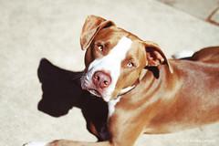 Mr. Brown (life stories photography) Tags: dog sanantonio march texas pitbull day63 2012 sweetdog brownandwhitedog 3651