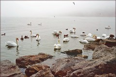 Swans in the Bay (blmiers2) Tags: bird nature birds bay nikon swans d3100 blm18 blmiers2