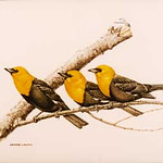 "<b>Yellow-Headed Blackbird</b><br/> Christopher Cudworth (1957-) ""Yellow-Headed Blackbird"" Watercolor, 1978 LFAC #651<a href=""//farm8.static.flickr.com/7048/6852264417_652809f808_o.jpg"" title=""High res"">∝</a>"