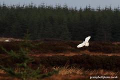 Snowy Owl (gcampbellphoto) Tags: bird nature snowy wildlife arctic owl northernireland birdofprey biodiversity rarity gcampbellphotocouk