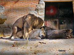 Ah.... leão2 (Miguel Tavares Cardoso) Tags: portugal zoo lisboa lion jardim zoológico leão leoa leao jardimzoológico migueltavarescardoso