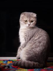 lele- Scottish Fold cat (Cat Box2011) Tags: zeiss cat scottish jena carl 100 28 fold tevidon