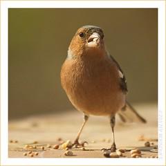 Monsieur Pinson / Mr. Pinson (Orpinbleu) Tags: france canon flickr photos corse images oiseaux pinson flickrduel canoneos5od orpinbleu emilienneparrotbousquet orpinbleuflickrcom