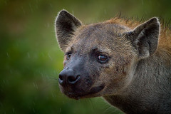 Matriarch Spotted Hyaena - Your Worst Nightmare (Explore) (leendert3) Tags: nature all wildlife hyena natures krugernationalpark level1 amazingwildlifephotography