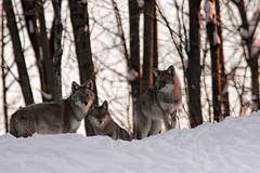 Coyotes (SergeK ) Tags: winter canada chorus quebec hiver omega canine brush prairie prairies wolves distinc