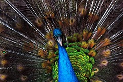 Thousand Colors of a Peacock (Syed Zeeshan JIllani) Tags: barcelona life china california birthday christmas city family flowers blue autumn friends pakistan england blackandwhite bw food dog baby pets chicago canada black france flower color berlin green bird art fall film beach church nature beautiful car fashion birds animals bike festival architecture clouds cat canon germany garden de geotagged real fun dance football concert asia europe day colours florida band australia peacock colourful islamabad