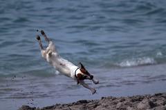 Jumping Jack (flutterbye216) Tags: dog beach canon florida jackrussell blinkagain blinkagainfrontpage bestofblinkwinners highqualitydogs challengeclubchampion