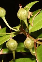 7500 001-01-8230 Lysimachia waianaeensis or a L. waianaeensis-like taxon, occurrence 1, plant 1.  Hawai`i, O`ahu, windward northern Wai`anae Mts., inland of Waialua. (jqcl) Tags: plant hawaii primulaceae lysimachia nativeplant hawaiianislands nativehawaiianplant lysimachiahillebrandii endangeredhawaiianplant lysimachiawaianaeensisorlysimachiawaianaeensislike