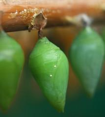 pupating (Johnson Cameraface) Tags: winter macro butterfly 50mm yorkshire leeds moth olympus f2 february zuiko pupa roundhaypark roundhay 2012 tropicalworld crysalis zd e620