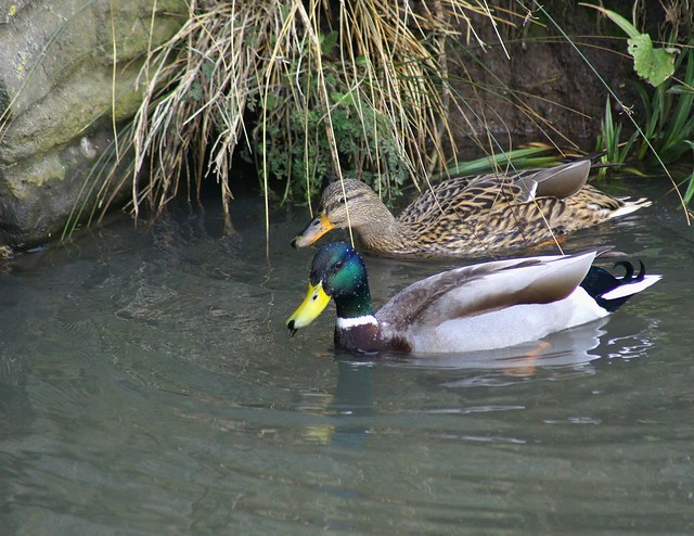 A Male & Female Mallard Ducks