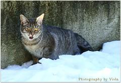 My cute Micky  (Simply Viola) Tags: cats animals kittens felini gatti animali gattini catnipaddicts