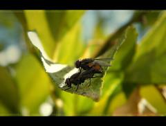 Procreacion... (Gerardo 2010) Tags: chile sol del gonzalez region 2012 gerardo moscas talca maule septima nauraleza voyerismo regiondelmaule septimaregion procreacion gerardo2010 gerardogonzalez