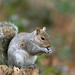 Grey Squirrel NottsWT (cpt John Smith)