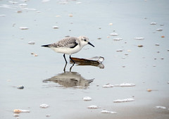 Looking for something ... (Lynn Morag) Tags: ocean sea holland bird beach netherlands interestingness scheveningen thenetherlands denhaag lynn explore shore nl sandpiper winged thehague lynnmorag interestingness205 sx40 allrightsreserved february2012