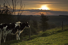Cow Watching Sunrise (Si Photography) Tags: sky cloud sun tree green grass sunrise landscape photography cow nice interesting flickr view good si watching hedge dorset win rise shaftesbury wingreen maidment flickrduel
