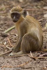 green Vervet Monkey, Abuko nature reserve, The Gambia (www.kevinoakhill.com) Tags: baby green canon mammal monkey kevin drink oakhill drinking hide 7d gambia monkeys vervet thegambia 400mm abukonaturereserve abuko canon400mmf56 greenvervetmonkey canoneos7d canon7d kevinoakhill photohide