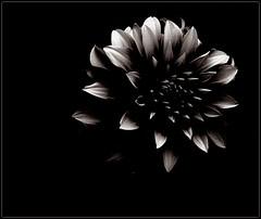 Tirando de archivo y reinventando (keyfreya - carmen) Tags: flores hojas negro otoño dorado procesados tff1 tff2 tchaikosvky