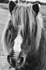 new forest shetland pony (justyourcofchi) Tags: park new uk trip wild portrait england sky bw horse sun white black nature animal forest countryside model flickr photographer hampshire pony national shetland chiarnold justyourcupofchicom justyourcupofchi