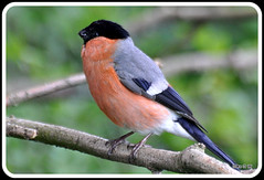 Bullfinch Male (Diko G.W. Internet on & off) Tags: me2youphotographylevel2 me2youphotographylevel1 freedomtosoarlevel1birdphotosonly freedomtosoarlevel2birdphotosonly freedomtosoarlevel3birdsonly vigilantphotographersunite vpu2 vpu3 vpu4