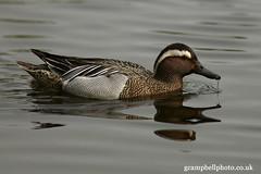Garganey (gcampbellphoto) Tags: nature duck wildlife waterbird belfast northernireland waterfowl rarity riverlagan scarcebird gcampbellphotocouk