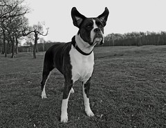 BOXER AT ATTENTION (explore) (kenny barker) Tags: winter bw dog pet monochrome lumix scotland boxer falkirk bonnybridge landscapeuk panasoniclumixgf1 kennybarker