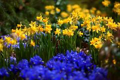 Spring In Winter - Explore (Light Echoes) Tags: iris winter flower philadelphia nikon daffodil bloom hdr 2012 philadelphiaconventioncenter philadelphiaflowershow d90 philadelphiainternationalflowershow