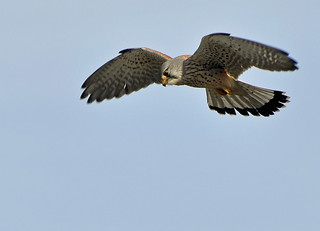Hovering male Kestrel - Explored -