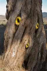 eyeTree (rasterizer) Tags: photoshop pointreyes californiatree treewitheyes unusualtree treewithunusualtrunk