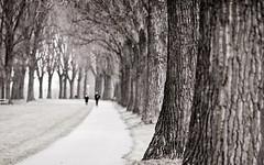 Having a walk (MoreThanOneView) Tags: tree alley dsseldorf rhein baum allee