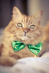 Happy St. Patrick's Day! -Puddy O'Quinn (Kilkennycat) Tags: orange green cat canon ginger furry tabby kitty bowtie 50mm14 whiskers meow stpatrick saintpatricksday 500d t1i