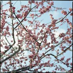 a sunny spring day (yoster) Tags: tokyo kodak hasselblad planar machida  80mm 500cm portra400  umeblossoms