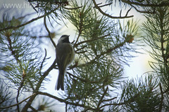 "Mountain Chickadee • <a style=""font-size:0.8em;"" href=""http://www.flickr.com/photos/63501323@N07/7046795709/"" target=""_blank"">View on Flickr</a>"