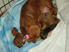 Mischa's new brother & sisters... (Natashya Bay) Tags: red puppy dachshund dapple purebred babydog chocolateandtan