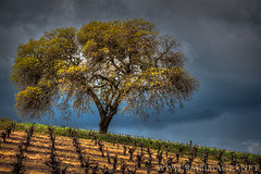Defiance (Explored) (Bowman66) Tags: california tree grass rain clouds spring oak nikon sonoma vineyards rows sonomacounty hillside sonomavalley valleyofthemoon brcohn rmbimages