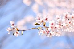 Sakura 2012 ver 2 (sunset_k08) Tags: flowers japan canon cherry eos 50mm tokyo spring kiss  sakura cherryblossoms  400d digitalx