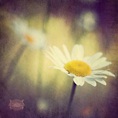 more daisies (Tammy Wilson (T.Wilson Photography)) Tags: daisies wildflowers textured