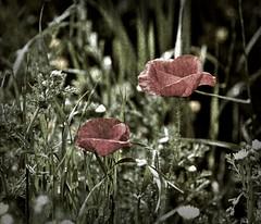 Roselles desprs de la pluja (CarmeLlobet) Tags: primavera easter amapolas roselles