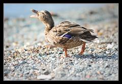 Germanaaaa! (matt :-)) Tags: wild female duck san mallard mattia anas anasplatyrhynchos reale vito germano sanvito anatra wildduck platyrhynchos 80200mmf28d femmina cremia germanoreale nikond80 consonni mattiaconsonni