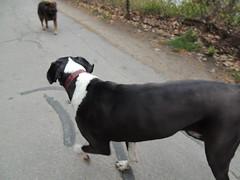 DSCN0207 (rlg) Tags: rescue dog male animal female wednesday mammal mutt jasper texas may 02 saga 2012 0502 fpr 201205 nikonp510 28nov09 20120502 05022012 jasperrg