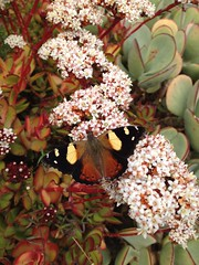 Yellow Admiral (eyemac23) Tags: butterfly lepidoptera wellington iphone yellowadmiral kahukowhai vanessaitea may2012