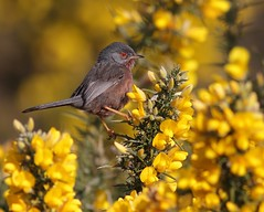 Dartford warbler (Paul Green Photography) Tags: nature wildlife dartfordwarbler nbw canonef400mmf56lusm canon7d paulgreenbirdphotography