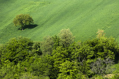 Fuori dal coro! (luca_pictures) Tags: trees green woods alone loneliness hill agriculture marche outfromthepack