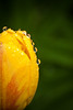 tulip with raindrops (Stefan Lorse) Tags: flower macro green nature rain germany deutschland drops spring dof blossom saxony natur depthoffield sachsen tulip grün blume blüte regen tropfen frühling tulpe tamron70300mm tiefenunschärfe canoneos50d