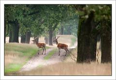 P7162279-B (-AR-) Tags: road wild field forest woods path pad deer zomer bok bos veld veluwe weg antler stagg gewei cervuselaphus edelhert edelherten roodwild geweidrager